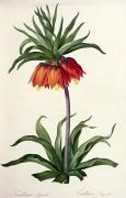 Flower Blooms Drawings Prints - Fritillaria Imperialis Print by Pierre Joseph Redoute