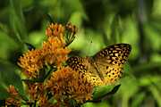 Vermont Photographs Framed Prints - Fritillary Wonder Framed Print by Rob Travis