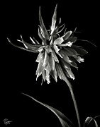 Flower Photos Framed Prints - Frittilaria in Black and White Framed Print by Endre Balogh