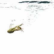 In The Studio Prints - Frog Diving Under Water Print by Maarten Wouters