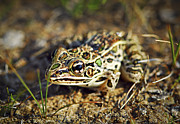 Frog Photo Metal Prints - Frog Metal Print by Elena Elisseeva