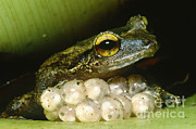 Eleutherodactylus Photos - Frog Guarding His Eggs by Dante Fenolio