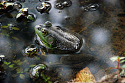 Kay Lovingood Art - Frog in the Millpond by Kay Lovingood