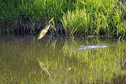 Frog Jumping In Water Print by Dan Friend