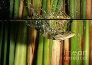 Anuran Art - Frog Jumps Into Water by Ted Kinsman
