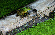 Amphibians Photos - Frog on a Log by Nick Gustafson