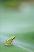 Vertical Prints - Frog On Leaf Of Lotus Print by Naomi Okunaka