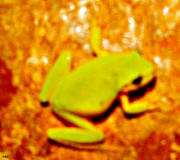 Frog On The Wall Print by Debra     Vatalaro