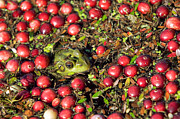 Cranberry Prints - Frog peaks up through cranberries in bog Print by Matt Suess