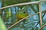 Photograpy Metal Prints - Frog Pond Metal Print by Michael Peychich