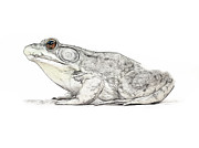 Tilly Metal Prints - Frog Metal Print by Tilly Williams