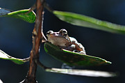 Frog With Twinkle In Eye Print by Wayne Nielsen