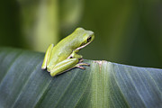 Tiny Tree Frog Prints - Froggie on a Leaf Print by Kathy Clark