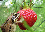 Ausra Paulauskaite Framed Prints - Frogs Love Strawberries Too  Framed Print by Ausra Paulauskaite
