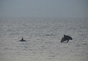 Frolicking Dolphins Print by Bill Cannon