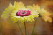 Gerber Daisy Prints - Front and Center Print by Rebecca Cozart