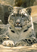 Yellow Eyes Posters - Frontal Portrait Of A Snow Leopards Poster by Jason Edwards