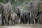 Central African Republic Photos - Frontal View Of Herd Of Forest by Michael Fay