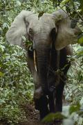 Central African Republic Photos - Frontal View Of Large Forest Elephant by Michael Fay