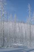 Snow Scenes Art - Frost Covered Burnt Trees In A Snowy by Tom Murphy