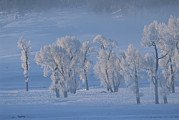 Snow Scenes Art - Frost Covered Cottonwood Trees by Tom Murphy