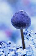 Blue Mushrooms Art - Frost Covered Mushroom, North Canol by Robert Postma