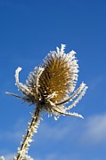 Covered Head Framed Prints - Frost-covered Teasel (dipsacus Fullonum) Framed Print by Duncan Shaw