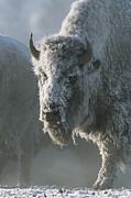 Bison Photos - Frost Covers The Coat Of An American by Tom Murphy