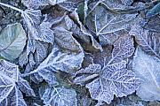 Frost Photo Originals - Frost by Idaho Scenic Images Linda Lantzy