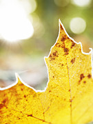Tree Leaf Posters - Frost On Autumn Leaf, Detail Poster by Johner Images