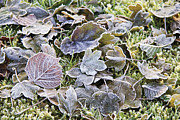 Crisp Prints - Frost On Leaves Print by Sheila Terry