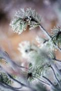 Selection Posters - Frost On Pine Tree Branches Poster by Natural Selection Craig Tuttle