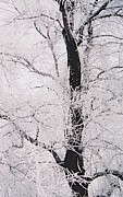 Ellot Halt - Frosted Branches