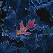 Rod Kaye - Frosted Leaf and Ivy