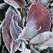 Freezing Originals - Frosted Leaves by Karen Kolb