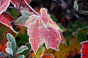 Photos Of Autumn Digital Art Prints - Frosted Maple Print by William Carroll