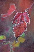 Red Leaf Posters - Frosted Poster by Odd Jeppesen