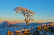 Mark Denham - Frosted tree