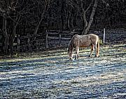 Horse Pasture Prints - Frosty autumn morning Print by Al  Mueller