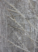 White Frost Posters - Frosty Birch Tree Poster by Carol Groenen