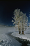 Snow Scenes Art - Frosty Cottonwood Trees Standing by Tom Murphy