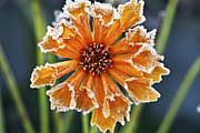 Late Photo Framed Prints - Frosty flower Framed Print by Elena Elisseeva