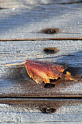 Fallen Leaf Photos - Frosty by Lauri Novak