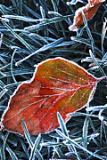Hoarfrost Framed Prints - Frosty leaf Framed Print by Elena Elisseeva