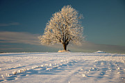 Single Tree Prints - Frosty Oak Tree Print by by Sigurd Rage
