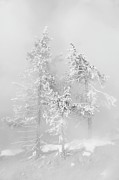 Park Scene Photos - Frosty Trees In Mist Yellowstone by Anita Erdmann