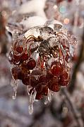 Berries Red  Ice Storm Posters - Frozen Berries Poster by Andrei Shliakhau