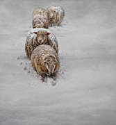 Flock Of Sheep Prints - Frozen Fleece Print by Robin-Lee Vieira