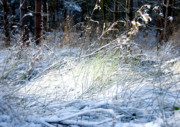 Freezing Digital Art Prints - Frozen Grass Print by Svetlana Sewell
