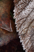 Jouko Mikkola Metal Prints - Frozen leaf Metal Print by Jouko Mikkola